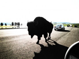 buffalo-road-yellowstone